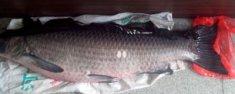 如何区分青鱼和草鱼 草鱼和青鱼的区别图片