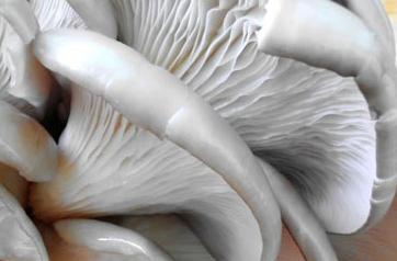 怎么处理平菇做菜才好吃 正确处理平菇的方法