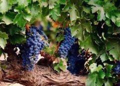 秋天吃葡萄好吗 秋天吃葡萄的好处