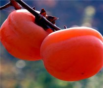 【柿子和桔子能一起吃吗】柿子和桔子的营养价值_柿子和桔子的食用方