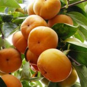 【柿子的热量】柿子怎么催熟_柿子怎么保存_柿子的功效与作用