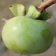 【生柿子怎么催熟】生柿子能吃吗_生柿子怎么吃