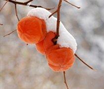 【冻柿子的吃法】冻柿子的营养_冻柿子不能和什么一起吃