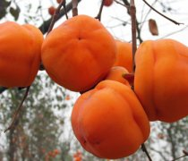 【柿子怎么吃】柿子的功效_柿子怎么催熟_柿子的禁忌