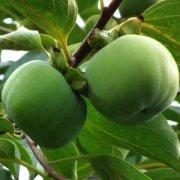 【生柿子怎么吃】生柿子怎么捂熟_生柿子的功效_生柿子的食用禁忌