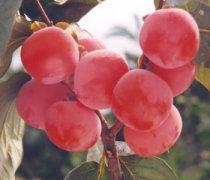 【软柿子的功效与作用】软柿子怎么保存_软柿子和硬柿子的区别