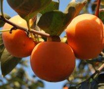 【空腹吃柿子】空腹吃柿子会怎么样_空腹吃柿子好吗