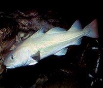 【假鳕鱼】假鳕鱼是什么_食用假鳕鱼的危害