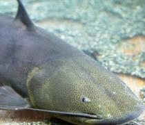 【鲶鱼鱼籽能吃吗】鲶鱼鱼籽有毒吗_鲶鱼鱼籽的做法